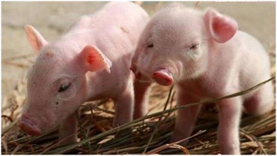 小型养猪场需要投入多少资金,年利润能有多少钱