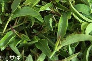 酸枣芽茶能长期喝吗 这茶就得长喝